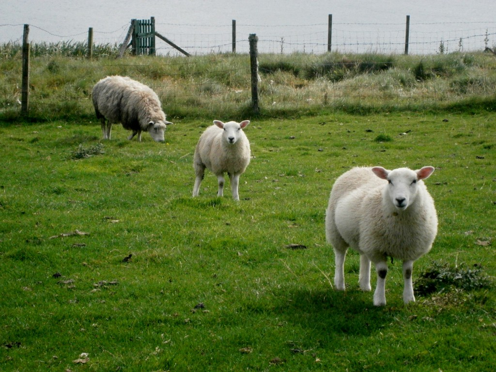 All the way to Orkney to photograph sheep